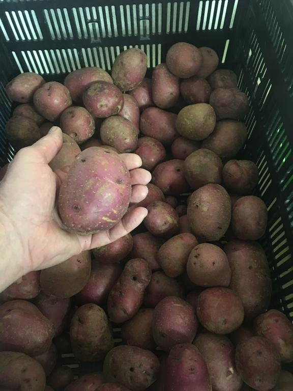 Potatoes__red