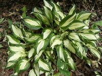 Hosta-variagated