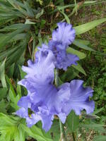 Purple_bearded_iris_05-09