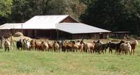 Herd_with_close_barn__small_
