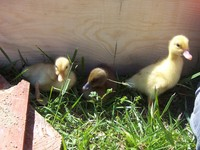 Ducklings__006