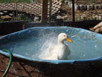 Happy_duck