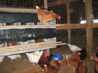 Chickens_and_cows_jan_12_009