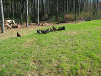 Chickens_and_cows_jan_12_011