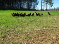 Chickens_and_cows_jan_12_010