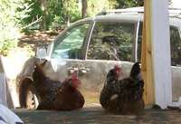 Lazy_chooks