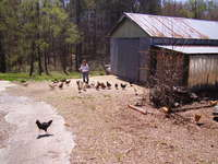 Chicken_pictures_camera_018