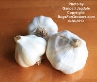 Garlic_for_alg