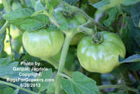 Green_tomatoes_for_alg
