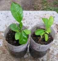 Keylime_seedlings