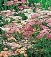 Yarrow_clump