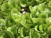 Buttercrunch_lettuce