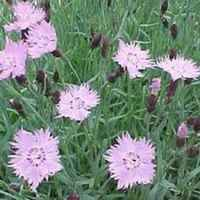 Dianthus_baths_pink