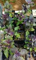 Basil_dark_opal_purple_4