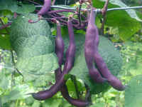 Louisiana-purple-pod-snap-pole-bean_lrg