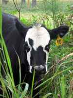 Cow_pic