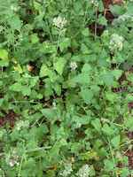 Flowering_catnip