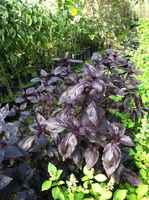 Purple_basil
