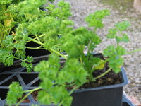 Curly_parsley