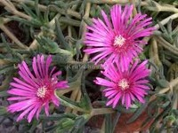 Ice_plant_pink