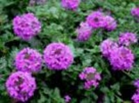 Verbena_homestead_purple